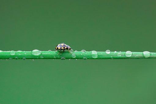 Ladybug, Uğurböceği, Damla, Macro, Green, Nature, Doğa