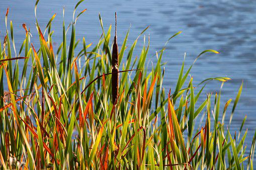 Reed, Bank, Lake, Marsh Plant, Nature, Water, Grass