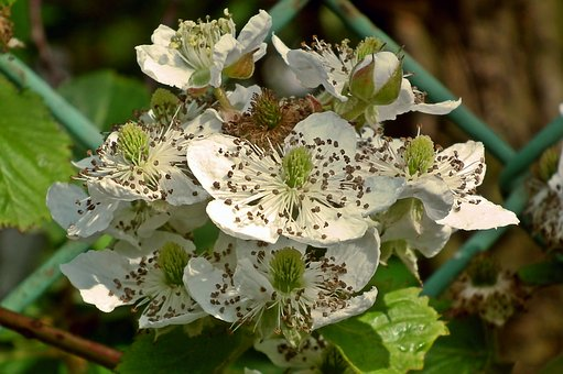 Blackberry, Flower, Bezkolcowa, Garden, Spring, Macro