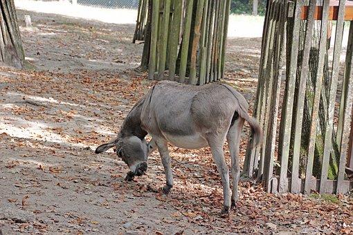Donkey, Animal, Nature, Livestock, Muli, Mule, Head