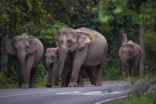 Elephant, Animal, Nature, Mammal, Thailand, Wildlife