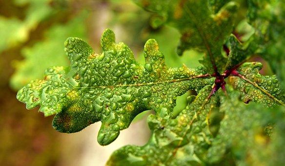 Oak Leaf, Oak, Engine, Young, Autumn, Wet, Water, Drip
