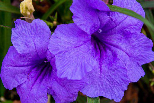 Petunia, Purple, Garden, Nature, Blossom, Bloom, Plant