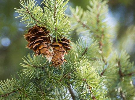 Pine Cone, Green, Tree, Nature, Branch, Needles