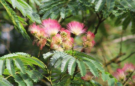 Albizia Julibrissin, Persian Slaapboom, Flowers, Pink