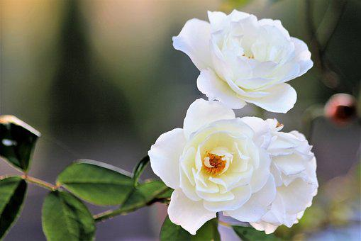 White Roses, Purity, Plant, Flower, Leaf