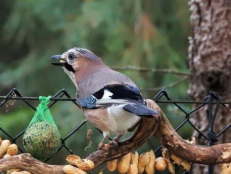 Jay, Autumn, Peanuts, Plumage, Bird