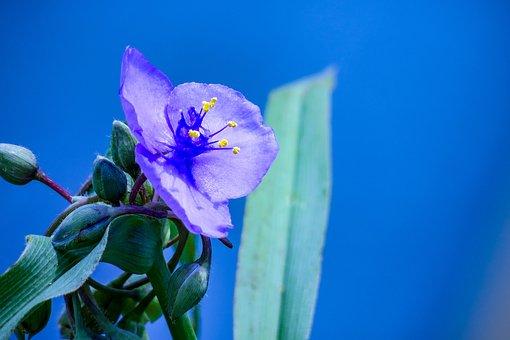 Purple Dew Grass, Wild Flowers, Purple, Spring