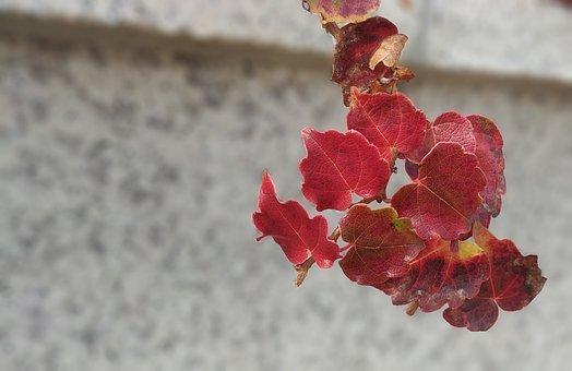 Ivy, Leaf, The Leaves, Vine, Sejong City