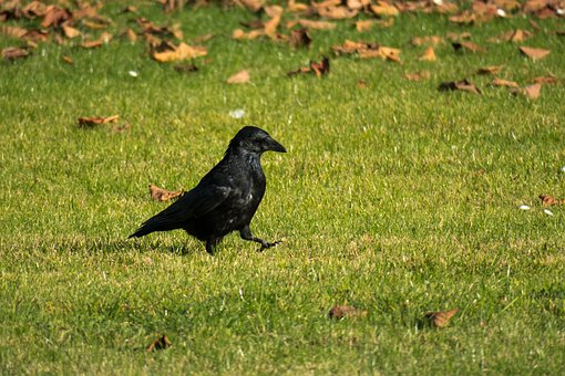 Raven, Strut, Go, Bird, Meadow, Rush, Walk