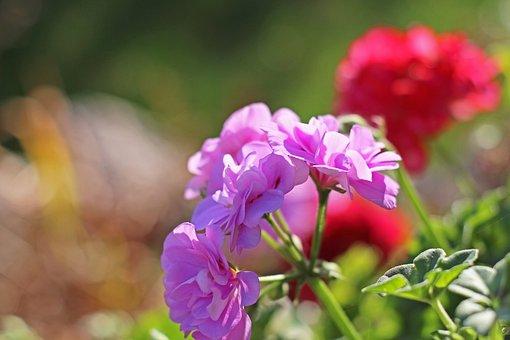 Geranium, Summer Flower, Flower, Nature, Flora, Blossom