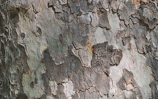 Sycamore, Tree, Bark, Nature