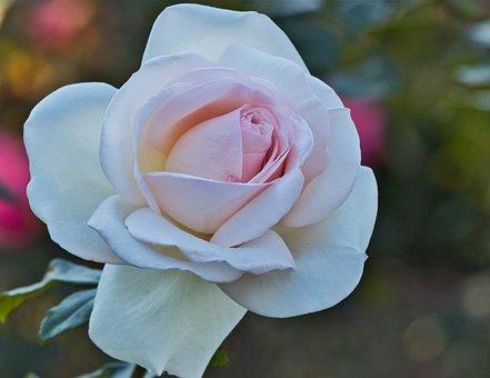 Rose, White, Romantic, Blossom, Bloom, Love, Pink