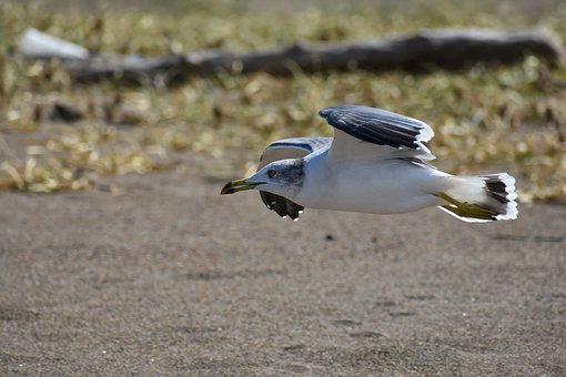 Animal, Sea, Beach, Bird, Wild Birds, Seabird, Sea Gull