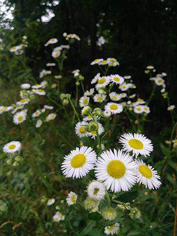 Aster, Daisy, White, Flower, Wildflower, Weeds, Nature