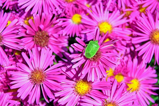 Autumn Flowers, Bedbugs, Green Bug, Colors, Plant