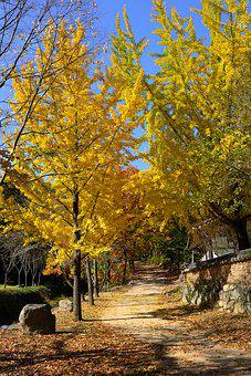 Ginkgo, Autumn Leaves, Autumn, Bank Leaves, Yellow