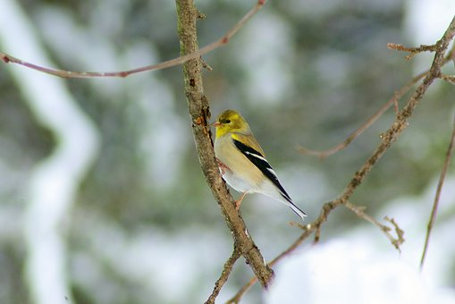 Goldfinch In Ozarks Winter, Goldfinch, Bird, Finch