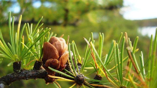 Fir, Cone, Tree, Branch, Evergreen