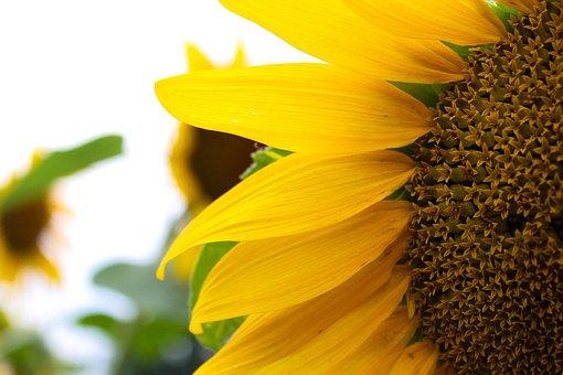 Sunflower, Yellow, Sun, Bloom, Summer, Plant, Bright