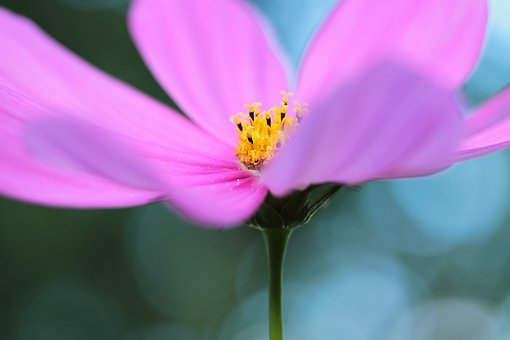Cosmea, Flower, Garden, Cosmos, Blossom, Bloom, Pink