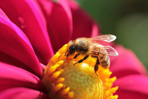 Dahlia, Flower, Blossom, Bloom, Garden, Bee, Insect