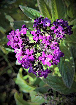 Plant, Vanilla Flower, Heliotrope, Dark Purple Flowers