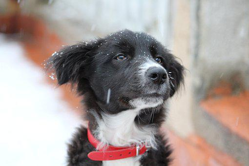 Dog, Puppy, Race, Bordercollie, Portrait, Adorable