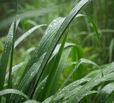 Reed, Raindrop, Wet, Nature, Leaf, Green, Drip