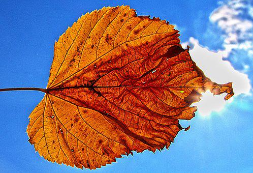 Leaf, Backlighting, Sun, Illuminated, Sky, Dry, Autumn