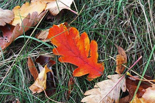 Fall Foliage, Oak Leaf, Autumn, Leaves, Fall Color