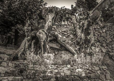 Trees, Wall, Stone, Strange, Nature, Fig Tree