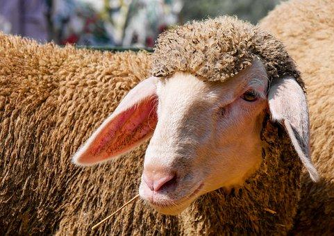 Animal, Sheep, Wool, Lamb, Flock, Animal Portrait