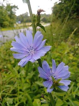 Chicory, Flower, Wildflower, Weeds, Purple, Nature