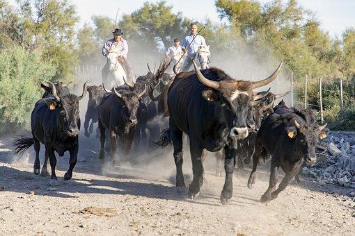 Camargue, Bulls, Horns, Gardians, Horses, Animals