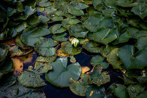 Lily Pad, Pond, L, Water, Green, Nature, Plant, Bloom