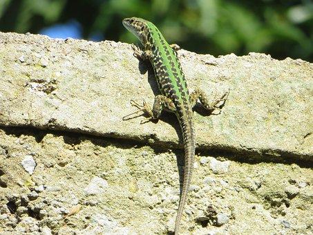Lizard, Green, Wall, Reptile, Animal