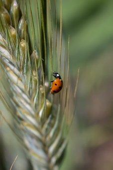 Field, Summer, Insect, Beetle, Grass, Kolosok, Nature