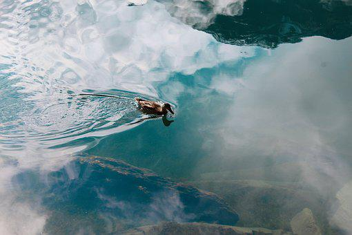 Duck, Lake St Moritz, Lake, Switzerland, Graubünden
