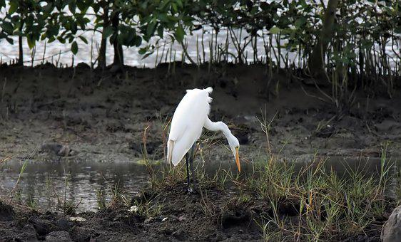 Bird, Wild, Wildlife, Great, Egret, Wet, Land, Outdoors