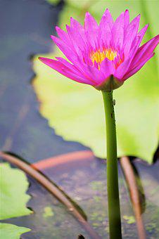 Water Lily, Solitaire, Leaf, Pond, Park, Plant, Pink