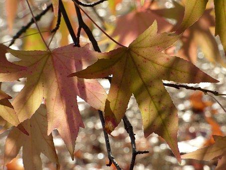 Leaves, Sweetgum, Tree, Color, Colorful, Plant, Flora