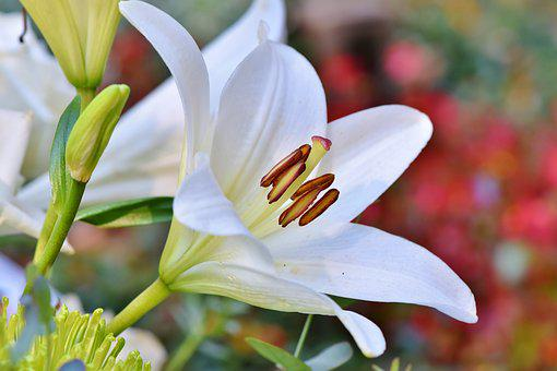 Lily, Blossom, Bloom, Lilies, Stamen, Pistil, Blossomed
