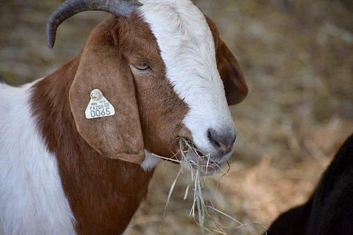 Goat, Animal, Farm, Livestock, Mammal, Horns, Nature