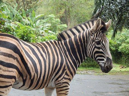Zebra, Striped, Mammal