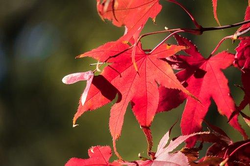 Maple, Blood Maple, Leaf, Japanese Blood Maple, Seeds