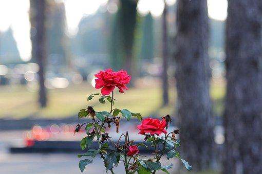City Cemetery Zagreb, Miroševac, Red Roses, Bloom