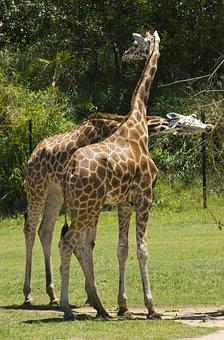 Giraffe, Animal, Africa, Safari, Wildlife, Wild, Nature