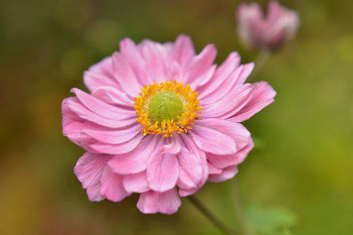 Anemone Japanese, Anemone Japonica, Flower, Nature