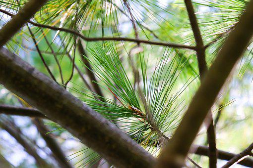 Tree, Pine, Branch, Green, Nature, Forest, Conifer